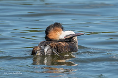 Great Crested Grebe - How to scratch your head 502_0383.jpg (Mobile Lynn) Tags: birds greatcrestedgrebe grebes nature bird diving fauna grebe podicepscristatus podicipedidae podicipediformes wildlife waterbird waterbirds norwich england unitedkingdom