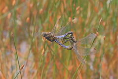 Windmill Farm NR, Cornwall UK (Dave913) Tags: black tailed skimmers mating inflight