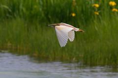 Crabier chevelu - Ardeola ralloides - Squacco Heron (dany-46) Tags: crabierchevelu ardeolaralloides squaccoheron pélécaniformes ardéidés oiseaux birds nikon catalogne