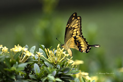 Giant Swallowtail (Canon Queen Rocks (3,000,000 + views)) Tags: wildlife wings wild butterfly butterflies yellows giantswallowtail colours flowers