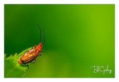 My mother was a chameleon (Bob Geilings) Tags: beetle floral leaf greenred orange antenna bokeh mood flora closeup macro nature insect summer