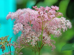 Queen Of The Prairie (marylee.agnew) Tags: flower prairie pink queen summer plant beauty outdoor