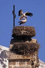 Cigüeñas (ivánmoral) Tags: cigüeñas elboalo madrid españa canon400mm nido bird aves