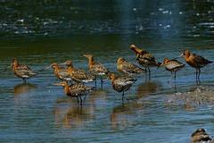 DSC06242 - Black tailed Godwit (steve R J) Tags: black tailed godwit fingringhoe wick ewt reserve colchester essex birds wader british