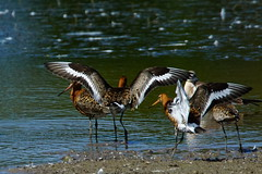 DSC06239 - Black tailed Godwit (steve R J) Tags: black tailed godwit fingringhoe wick ewt reserve colchester essex birds wader british
