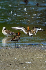 DSC06237 - Black tailed Godwit (steve R J) Tags: black tailed godwit fingringhoe wick ewt reserve colchester essex birds wader british