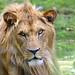 Jeune Lion d'Afrique de l'Est