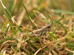 Verletzter Grashüpfer (ISOZPHOTO) Tags: isoz isozphoto grashüpfer heuschrecke grasshopper insekt insect insecte macro makro olympus e510 50mm zuiko fourthirds 2019