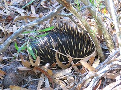 Tachyglossus aculeatus 5 (Barry M Ralley) Tags: saltwater national park new south wales australia ausmammal tachyglossus aculeatus shortbeaked echidna