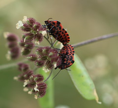 punaise (tineandthecats@gmail.com) Tags: punaise insecte macro nature
