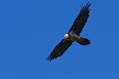 Gypaète barbu - Gypaetus barbatus - Bearded Vulture (Alain-46) Tags: gypaètebarbu gypaetusbarbatus beardedvulture accipitriformes accipitridés oiseaux birds raptors birdsofprey nikon aragon