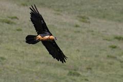 Gypaète barbu - Gypaetus barbatus - Bearded Vulture (Alain-46) Tags: gypaètebarbu gypaetusbarbatus beardedvulture accipitriformes accipitridés oiseaux birds rapaces raptors birdsofprey nikon aragon