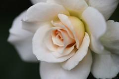 ivory rose (Christine_S.) Tags: flower blossom offwhite roses canon creamy apricot eos japan mirrorless floribunda peach ef100mmf28l macro garden nature m5 flowerphotography closeup explored ngc npc