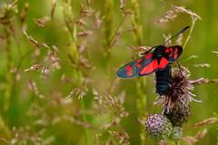DSC06333 - 6-spot Burnet Moth (steve R J) Tags: 6spot burnet moth blue house farm ewt reserve north fambridge essex british