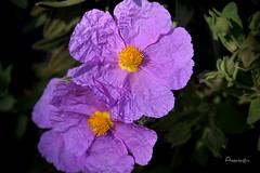 18_Rosas silvestres (Anavicor) Tags: quintaflower jueves flores giovedi jeudi donnerstag blume fiore flower juevesdeflores thursdayflowers rose rosasilvestre wild wildrose woodrose malva morada macrounlimited