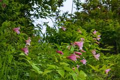 Lilium rubellum (Hiro Takenouchi) Tags: ilium lily monocot japan ユリ plant botany endemic fukushima nature liliaceae