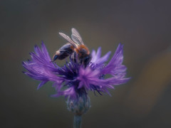 Let it Bee! (ursulamller900) Tags: diaplan28100 extensiontube 20mm makroring cornflower kornblume mygarden bee biene insekt purple
