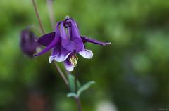 purple columbine (Christine_S.) Tags: flower canon eos aquilegia nature japan garden bokeh outdoor macro closeup m5 mirrorless ef100mmf28l flowerphotography オダマキ violet ngc npc
