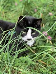 (ulvstedt) Tags: grass tuxedocat chat katt cat