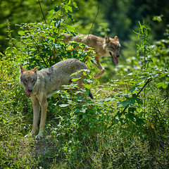 the pack (@dine) Tags: wolf natur sony a7iii sigma