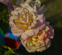 Rose in the evening (frankmh) Tags: plant flower rose evening hittarp skåne sweden macro