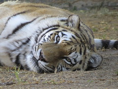 Tiger / Tier (Pixi2011) Tags: tigers wildcats