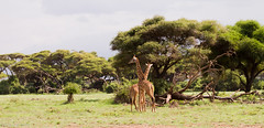 girafa (Tiago_Moreira23) Tags: africa kenya amboseli national park safari canon tamron 70300 nature free animals trip old camera good photos 7d girafa