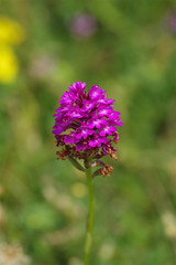 A morning of botanising on the Kent Chalk Downs - The end of the summer Orchid season - Pyramidal (favmark1) Tags: kent orchids kentorchids wildorchids britishorchids pyramidalorchids anacamptispyramidalis