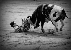 Podía ser tragedia (serie) (aficion2012) Tags: ceret 2019 novillada monteviejo aquilino giron francia france corrida bullfight tauromachie tauromaquia girón no novillero novillo bull toro taureau torero toreador matador monochrome bw cogida susto black white