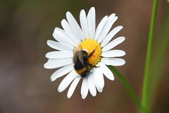 Bumblebee on flower (Håkan Jylhä (Thanks for +1000000 views)) Tags: bumblebee humla flower blomma vit white summer sommar sweden sverige håkan jylhä sony rx10iv close closeup