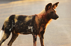 African Wild Dog (Lachlan.Mulhearn) Tags: lycaon pictus african wild dog south africa kruger national park endangered canine distemper dangerous
