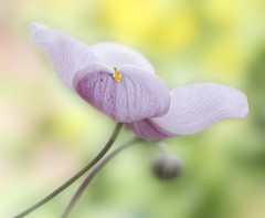 like a heart (franzis58) Tags: anemone summer colour pastel nature beauty garden flower heart