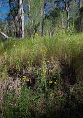 Xerochrysum bracteatum, west of Atherton, QLD, 16/07/19 (Russell Cumming) Tags: plant xerochrysum xerochrysumbracteatum asteraceae atherton queensland
