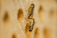 Sphaerophoria scripta hoverflies reproduction (markhortonphotography) Tags: deepcut surrey syrphidae macro mating incop nature reproduction surreyheath sphaerophoriascripta beehotel insect hoverfly wildlife invertebrate