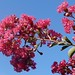 Crepe myrtle branches, flowering, against blue sky