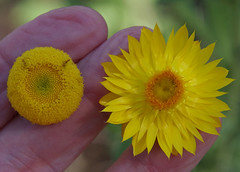 Xerochrysum bracteatum [right] and Coronidium rupicola, west of Atherton, QLD, 16/07/19 (Russell Cumming) Tags: plant xerochrysum xerochrysumbracteatum coronidium coronidiumrupicola asteraceae atherton queensland