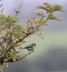Blue Tit (MJ Harbey) Tags: bird bluetit eurasianbluetit cyanistescaeruleus passerine aves passeriforme paridae cyanistes anglesey wales nikon d3300 nikond3300