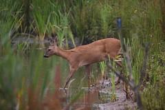 Parent Deer (rq uk) Tags: rquk nikon d750 dintonpastures bitternhide nikond750 tamronspaf150600mmf563divcusd deer
