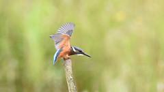 Kingfisher Landing (rq uk) Tags: rquk nikon d750 dintonpastures bitternhide nikond750 tamronspaf150600mmf563divcusd juvenile kingfisher