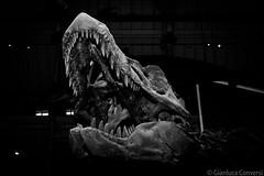 DSC_3796 (conversigphotopress) Tags: tirannosaurusrex dinosaur museum preserved edinburgh scotland bone nationalmuseumofscotland teeth mouth