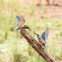 Juvenile Kingfishers Dueling - 1 (rq uk) Tags: rquk nikon d750 dintonpastures bitternhide juvenile kingfisher nikond750 tamronspaf150600mmf563divcusd