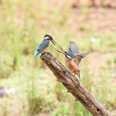 Juvenile Kingfishers Dueling - 3 (rq uk) Tags: rquk nikon d750 dintonpastures bitternhide juvenile kingfisher nikond750 tamronspaf150600mmf563divcusd