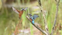 Juvenile Kingfishers Dueling - 4 (rq uk) Tags: rquk nikon d750 dintonpastures bitternhide juvenile kingfisher nikond750 tamronspaf150600mmf563divcusd