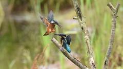 Juvenile Kingfishers Dueling - 5 (rq uk) Tags: rquk nikon d750 dintonpastures bitternhide juvenile kingfisher nikond750 tamronspaf150600mmf563divcusd