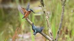 Juvenile Kingfishers Dueling - 6 (rq uk) Tags: rquk nikon d750 dintonpastures bitternhide juvenile kingfisher nikond750 tamronspaf150600mmf563divcusd