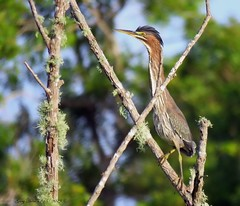 Solitary Forager (Gary Helm) Tags: greenheron ghelm4747 garyhelm bird birds wildlife nature outside outdoor feathers fly flight wade stalk forage image photograph juvenile florida osceolacounty floridawildlife animal usa joeoverstreet water tree camera canon sx60hs powershot