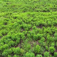 - (Hideki-I) Tags: square green iphone grass kansai japan