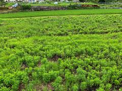 - (Hideki-I) Tags: green grass iphone kansai japanese japan