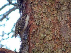 Treecreeper, 2018 Oct 29 -- photo 2 (Dunnock_D) Tags: britain gb glenmore highland highlands scotland scotspine uk unitedkingdom bark bird blue pine sky tree treecreeper trunk aviemore