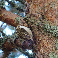 Treecreeper, 2018 Oct 29 -- photo 3 (Dunnock_D) Tags: britain gb glenmore highland highlands scotland scotspine uk unitedkingdom bark bird blue pine sky tree treecreeper trunk aviemore